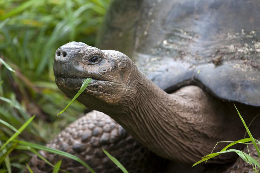 Giant tortoise (©Gisela Nylund)