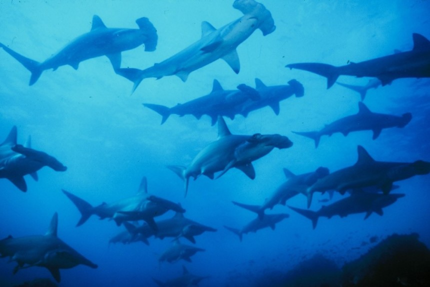 Galapagos Wildlife: Hammerhead Sharks © Richard Wollcombe