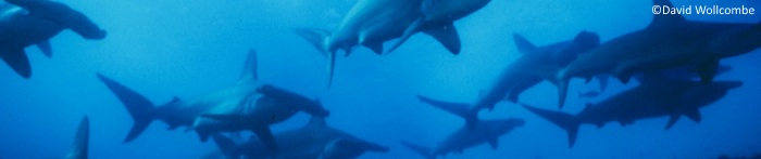 Galapagos Banners: Hammerhead Sharks