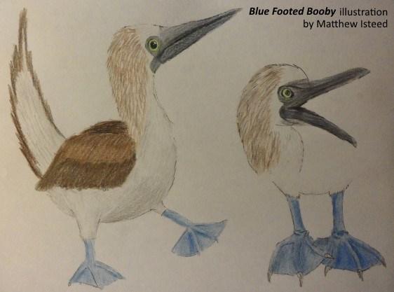 BlueFootedBoobySketch