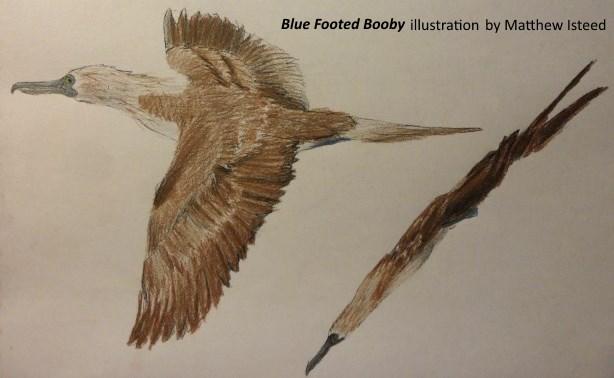 BlueFootedBoobySketch2