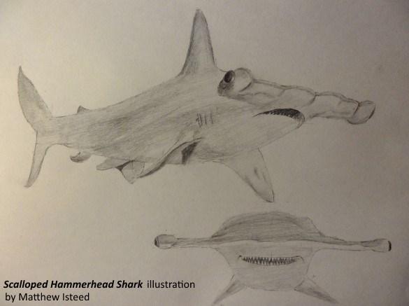 HammerheadSharkSketch