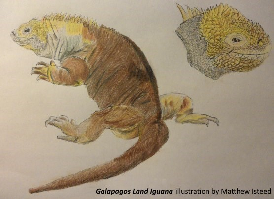 Galapagos Graphics: Land iguana sketch ©Matthew Isteed