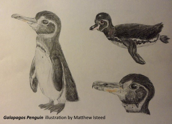 Galapagos Graphics: Penguin sketch ©Matthew Isteed