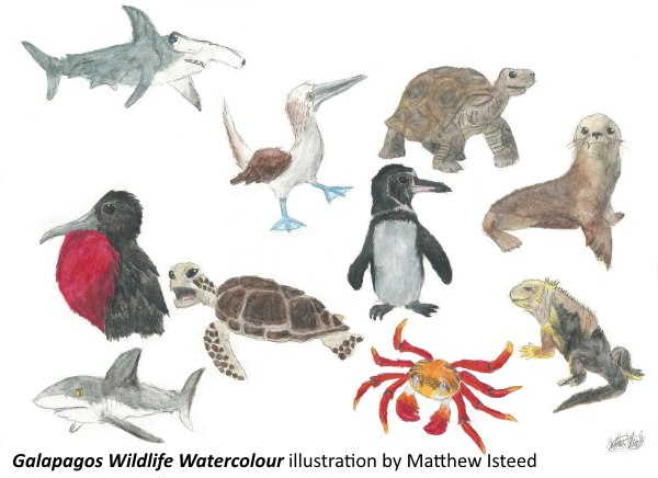 Galapagos Graphics: Collection of watercolour species drawings ©Matthew Isteed