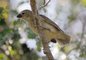 Medium tree finch © Prof W G Hale