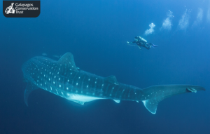 Whale shark and diver - Jonathan Green