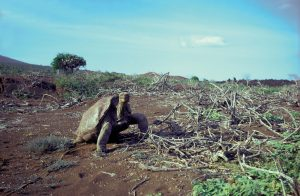 Lonesome George in 1972 © Ole Hammon