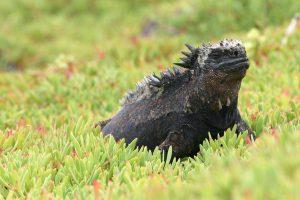 Marine iguana © Vanessa Horwell